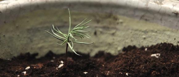 Projekt Mammutbaum: Wachstum und Pflege