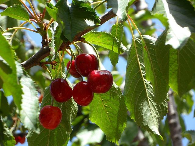 Den Kirschbaum schneiden – so gelingts