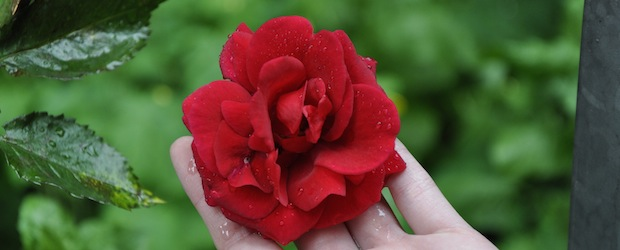 Erblühende Rosen – so sieht die majestätische Pflanze aus