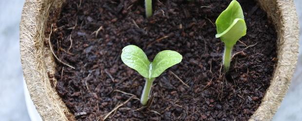 Update: Das Zucchini-Pflanzset gedeiht