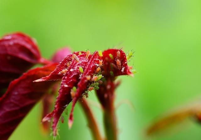 Angesehen: Rosenpflaster gegen Blattläuse