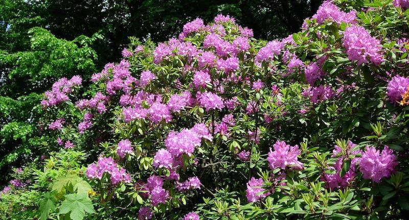 Rhododendron schneiden – ein Ratgeber