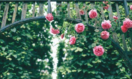 Bepflanzung eines Rosenbogens – So geht's