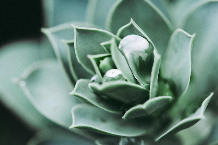 Eigener Anbau von Aloe Vera im Innenbereich