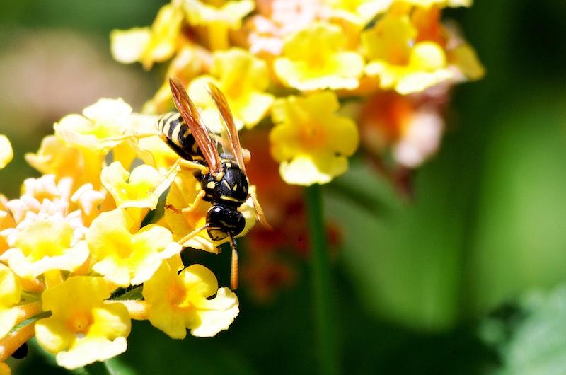 Wespenplage: So halten Sie Ihren Garten wespenfrei